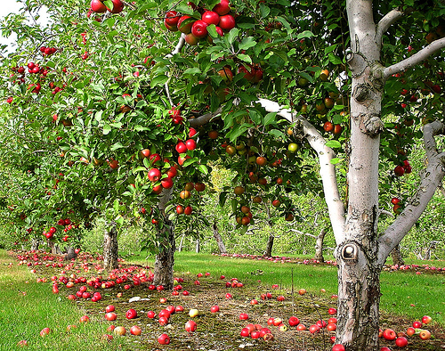 apple-orchard[1]