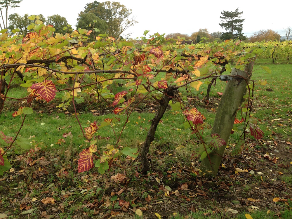 autumn grapevines sm