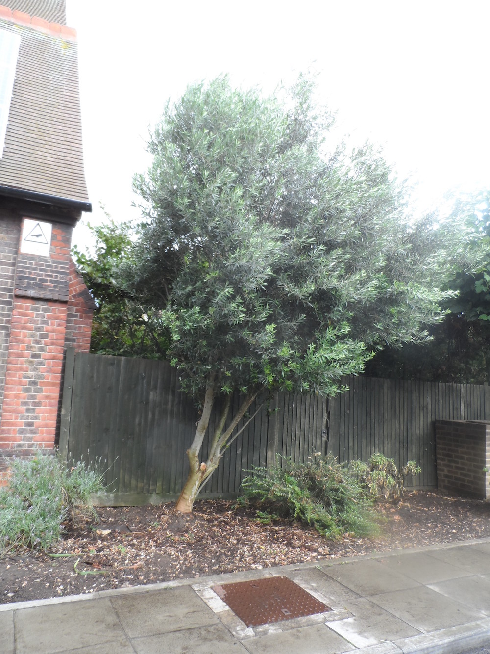 churchyard Olive tree