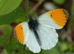 orange tip butterfly (JIm Asher)