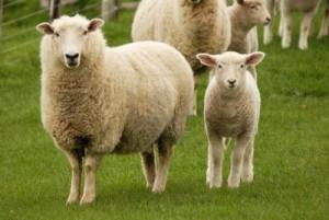 My sheep hear my voice...