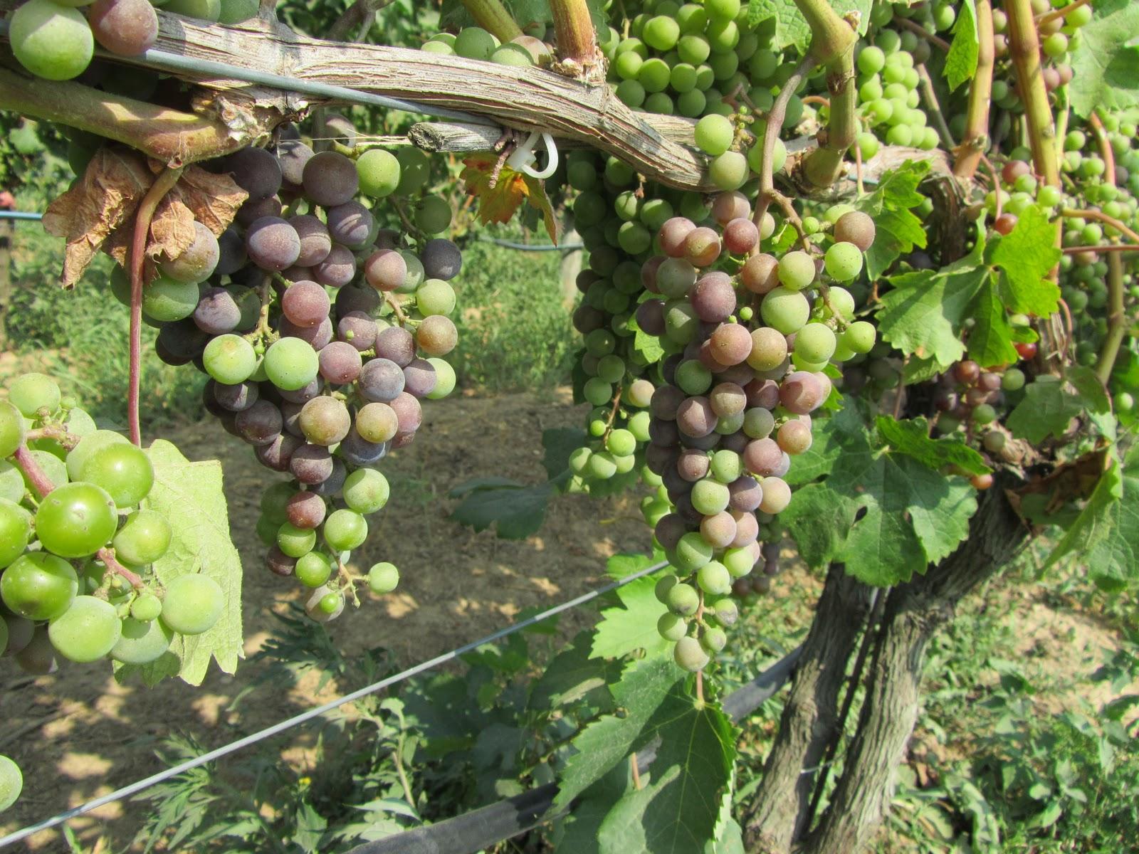 Vineyards-2010-091[1]