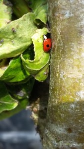 ladybird on pear leaf